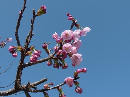 陽光 (桜) 3