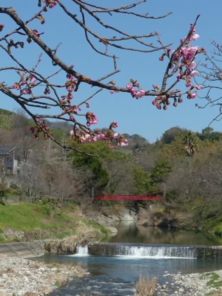 陽光 (桜) 4