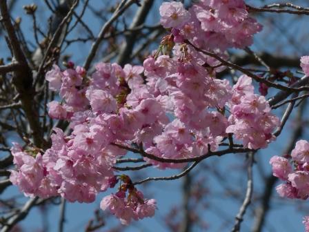 陽光 (桜) 6