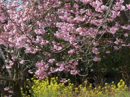 陽光 (桜) 8