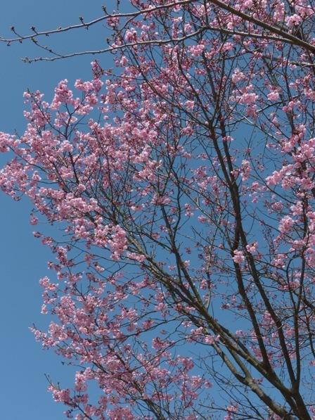 陽光 (桜) 7
