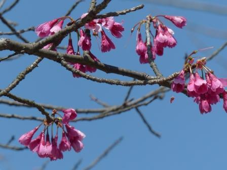 寒緋桜 1