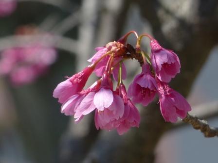 寒緋桜 3