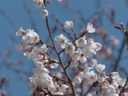 ひょうたん桜 (エドヒガン) 2