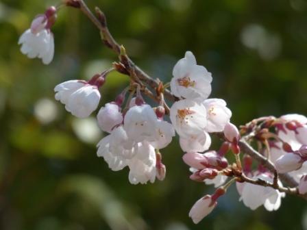 ひょうたん桜 (エドヒガン) 4