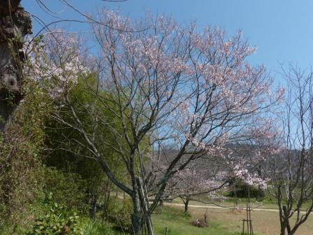 ひょうたん桜 (エドヒガン) 5