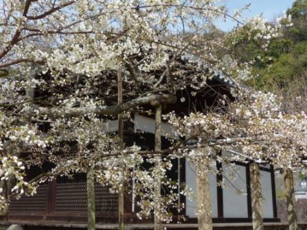 大宝寺のうば桜 5