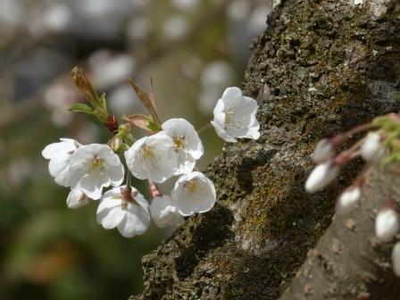 大宝寺のうば桜 3