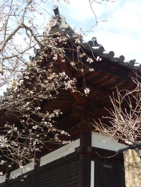 大宝寺のうば桜 7