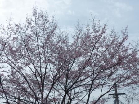 大宝寺 桜 1