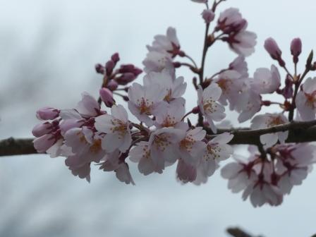 大宝寺 桜 3