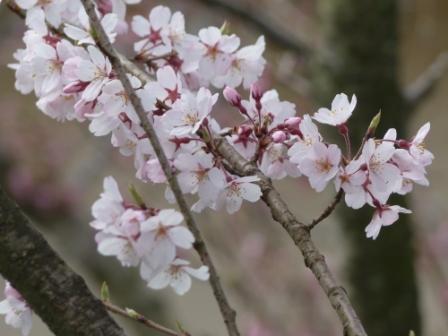 大宝寺 桜 2