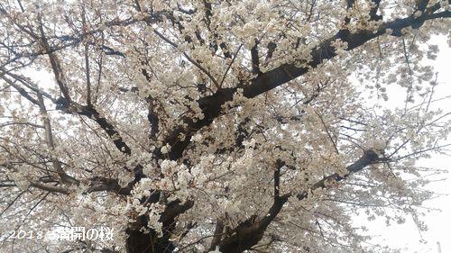 2018満開の桜
