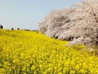 桜2018、熊谷・桜堤