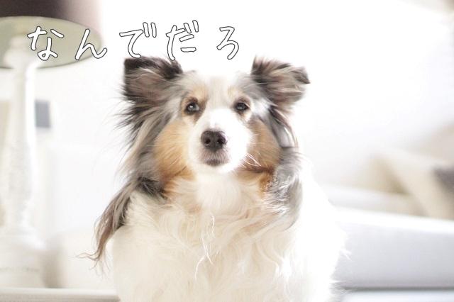 保護犬と先住犬の条件反射