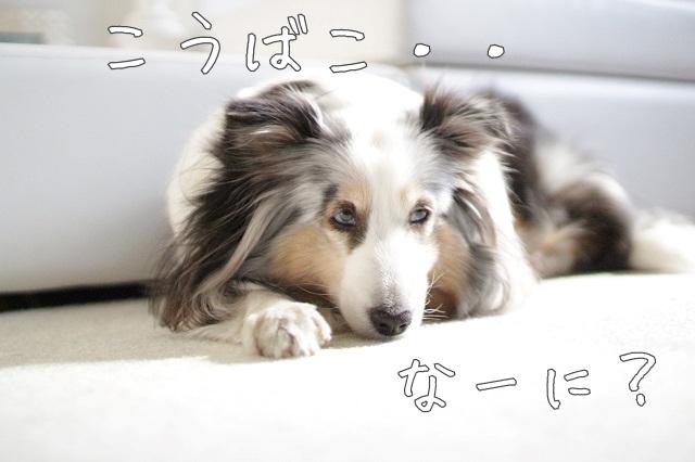 犬の香箱座り