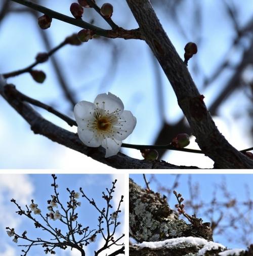 片岡梅林の梅