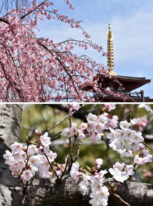 四天王寺桜