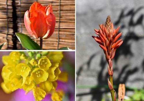 アロエ菜の花チューリップ