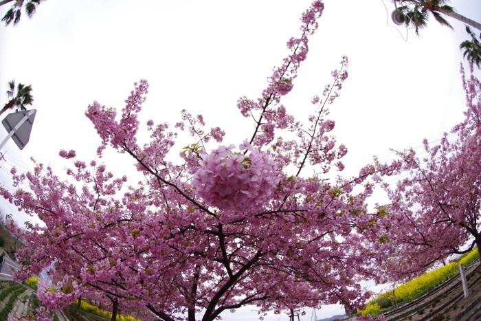 早咲き河津桜