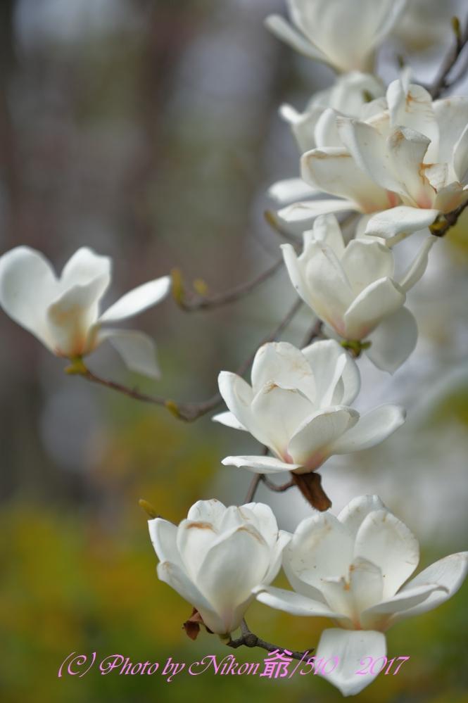 枝垂れ桜 3SN