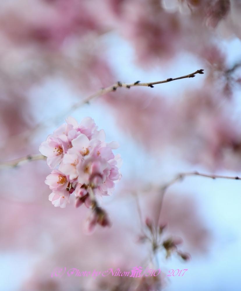 枝垂れ桜 SNF