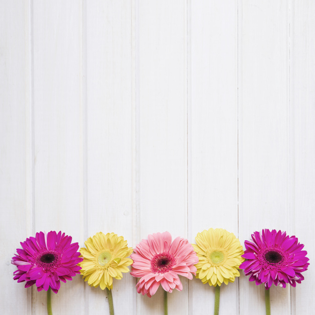 colorful-gerberas-on-white_23-2147766530.jpg