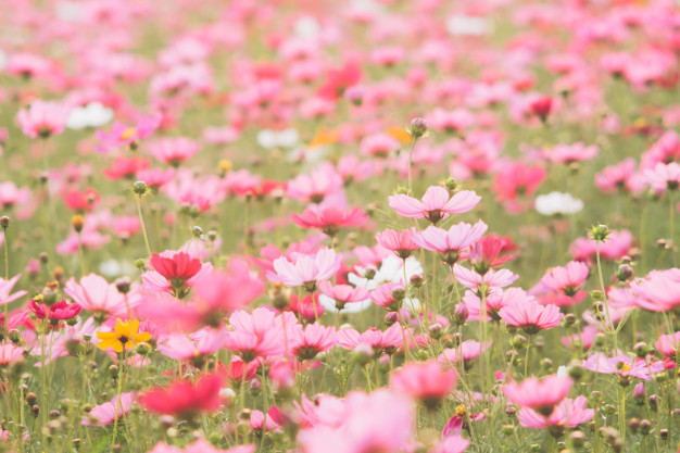 cosmos-flowers-on-sunlight-and-clear-sky_1421-1979.jpg