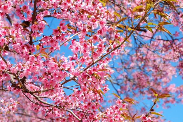 pink-sakura-flower-with-blue-sky-in-spring_3057-121.jpg