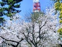 区役所前よりの桜