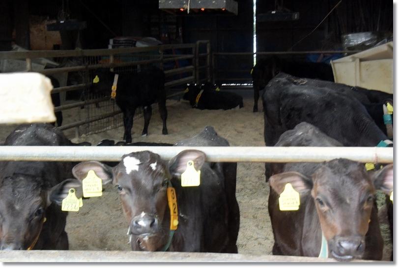 DSC_0891赤ちゃん牛