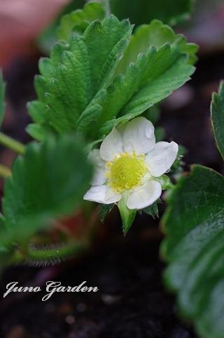 イチゴの花190321