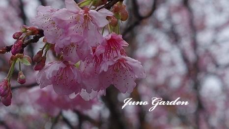 ハツミヨ桜180323