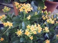 2018-01-14花と泉の公園ベゴニア館179