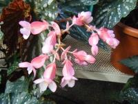 2018-01-14花と泉の公園ベゴニア館216