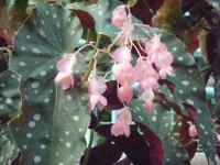 2018-01-14花と泉の公園ベゴニア館220