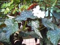 2018-01-14花と泉の公園ベゴニア館219