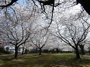 5あかぎ公園の桜