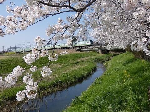 1元荒川の桜