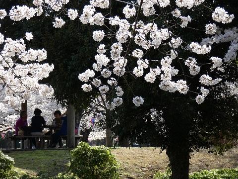 3あかぎ公園の桜