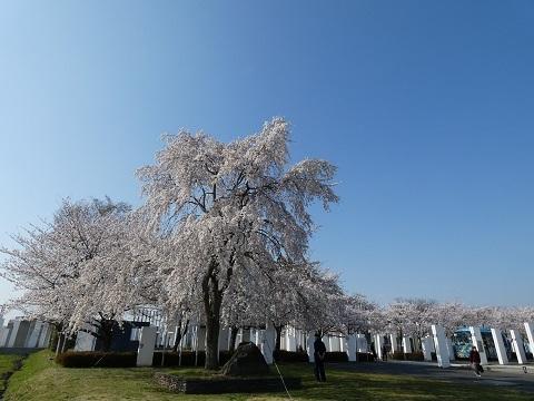 7ふるさと館の枝垂桜