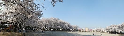 10 鴻巣公園の桜