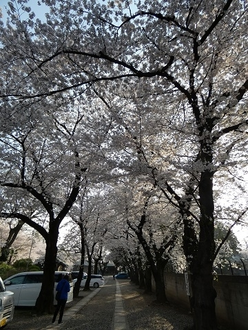 13勝願寺の桜