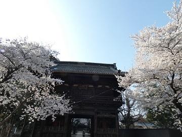 12勝願寺の桜