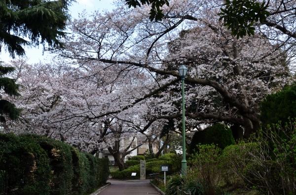 山手桜11