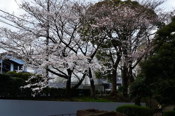 山手桜10