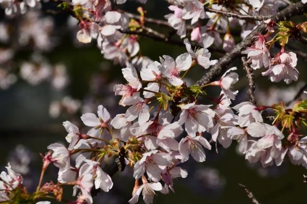 玉縄桜12