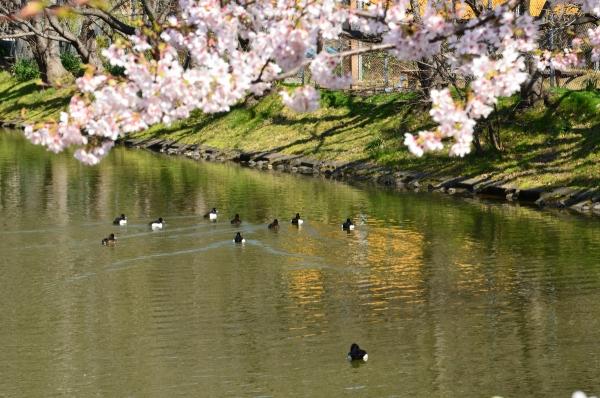 玉縄桜11