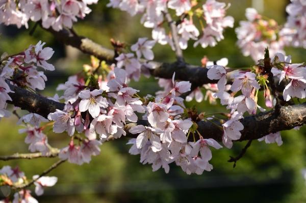 玉縄桜10