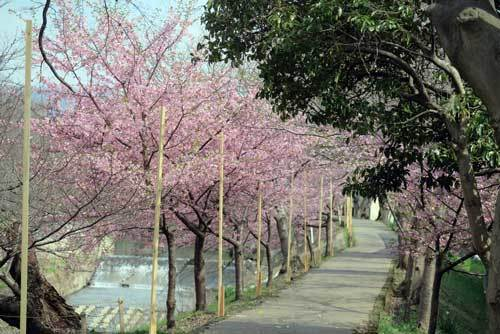 180315河津桜